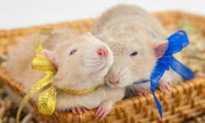Имена для крыс — как назвать домашнего питомца, выбираем лучшее имя для любимца