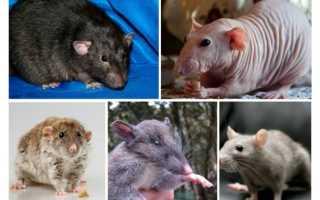 Породы крыс — описание, особенности, внешний вид, поведение и характер