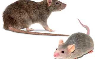 Чем отличается мышь от крысы — различия внешних характеристик, поведения, питания