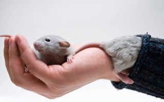 Как приручить крысу к рукам — поэтапный процесс приручения, советы и рекомендации