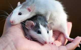 Домашние крысы — плюсы и минусы содержания, что нужно знать о декоративных грызунах. Уход за домашней крысой. Советы по содержанию