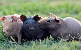 Лысая морская свинка — описание, поведение, характер, содержание, уход, разведение