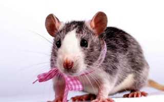 Сколько живут крысы — от чего зависит продолжительность жизни, как продлить жизнь питомца