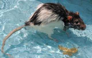 Умеют ли мыши плавать, как крысы плавают в воде? Умеет ли крыса плавать?