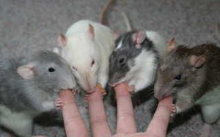 К чему снятся мыши и крысы — толкование снов, как правильно читать сны
