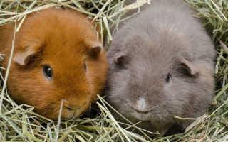 Сколько живут морские свинки — средняя продолжительность жизни животных, что влияет на срок жизни