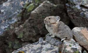 Где обитает и как живет шиншилла в дикой природе? Образ и продолжительность жизни диких шиншилл?