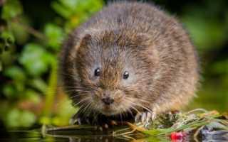 Водяная крыса – как выглядит, чем питается, как размножается, где живет