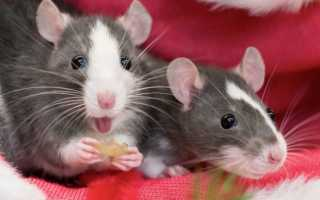 Домашние крысы — плюсы и минусы содержания, что нужно знать о декоративных грызунах