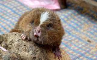 Бамбуковая крыса. Эфиопская бамбуковая крыса