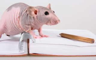 Лысая крыса — как правильно ухаживать за питомцем, особенности содержания и кормления