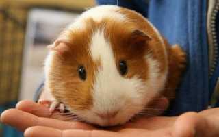 Почему морская свинка получила название «морская свинка»
