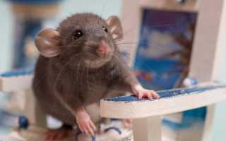 Крыса дамбо — описание породы, особенности грызунов, содержание, питание, уход