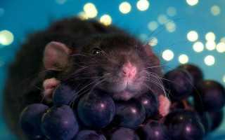 Можно ли крысам виноград — какие продукты могут присутствовать в рационе крысы