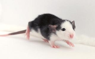 Крыса Хаски — правильное содержание, питание, уход, здоровье