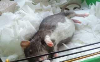 Беременная крыса — как правильно содержать животное, обязательный уход и особенности питания