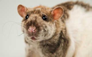 Кудрявые крысы «рексы». Декоративная крыса Дамбо Рекс – особенности породы