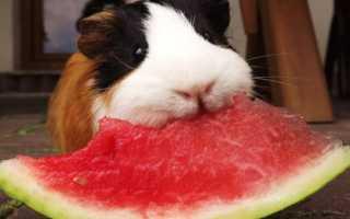 Можно ли морским свинкам арбуз — описание продукта, польза и вред