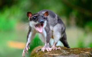 Сумчатая крыса —виды, описание —яркие представители своего вида!