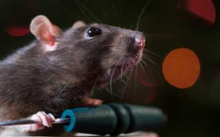 Как видят крысы в темноте и при свете, особенности поведения. Все что нужно знать о зрении крыс.