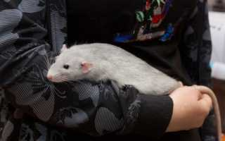 Продолжительность жизни крыс в домашних условиях. Сколько лет живут крысы и от чего это зависит?