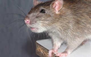 Как избавиться от крыс — самые эффективные методы борьбы