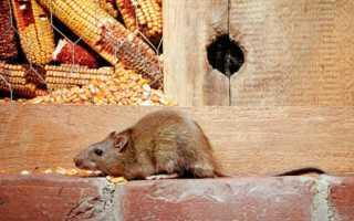 Крысы — всё, что вам нужно знать о диких и домашних грызунах. Крыса — внешний вид, обитание, жизненный цикл, опасность и разновидность