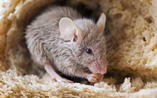 Чего боятся крысы — с помощью каких средств можно избавится от грызунов