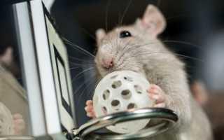 Как дрессировать крысу — правила обучения, легкое и быстрое обучение питомца