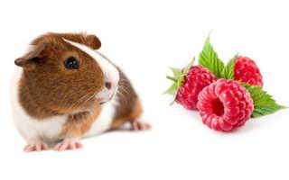 Можно ли морским свинкам малину — польза продукта, опасность, советы по кормлению