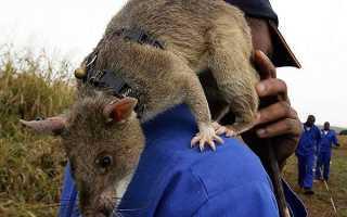 Самая большая крыса — описание, внешний вид, где обитают