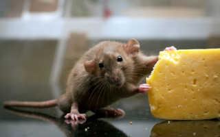 Можно ли крысам сыр — польза и вред молочных и кисломолочных продуктов, особенности кормления