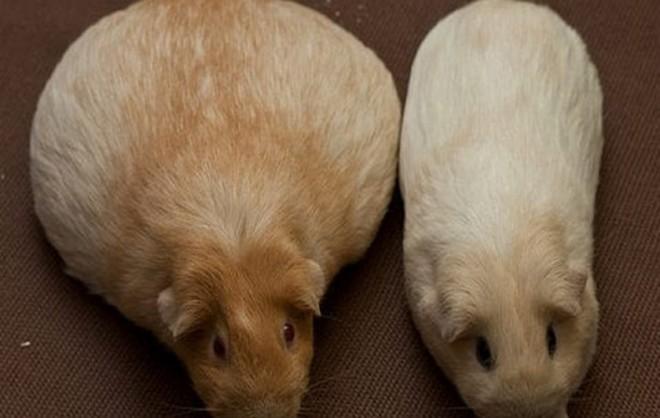 Беременная морская свинка сравнение