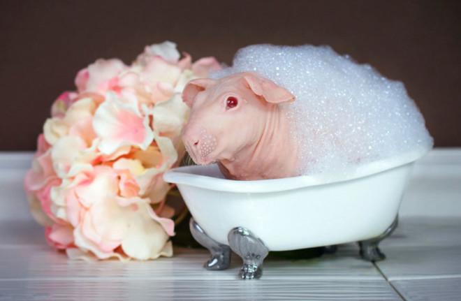 Купание лысой морской свинки