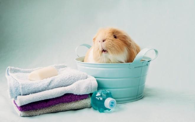 Марская свинка готовиться к купанию