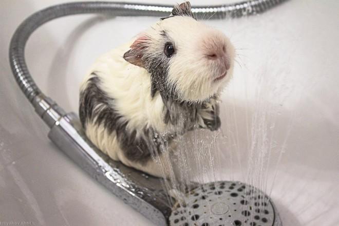 Морская свинка и душ