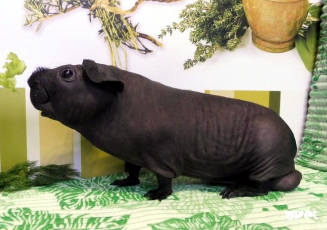 Морская свинка лысая