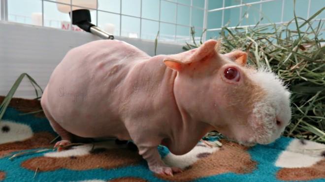 Морская свинка в домике