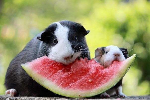 Морские свинки и арбуз