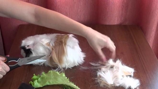 Подстригают морскую свинку