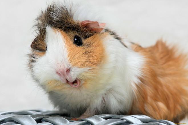 Розеточная свинка на фото