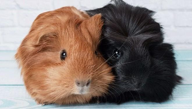 Самец и самка морские свинки