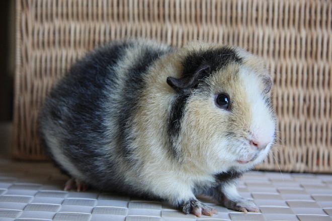 Тедди морская свинка
