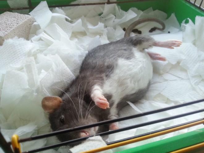 Беременная крыса