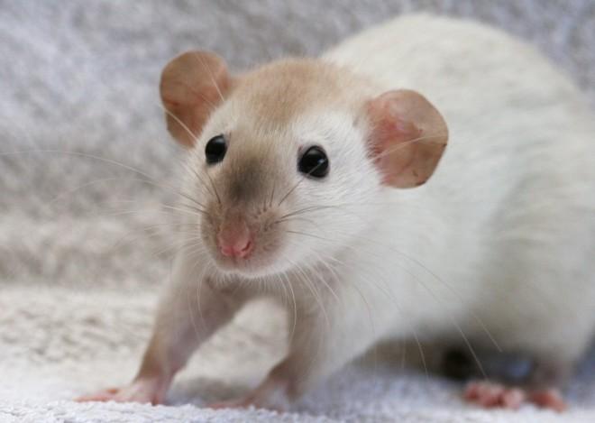Дамбо крыса