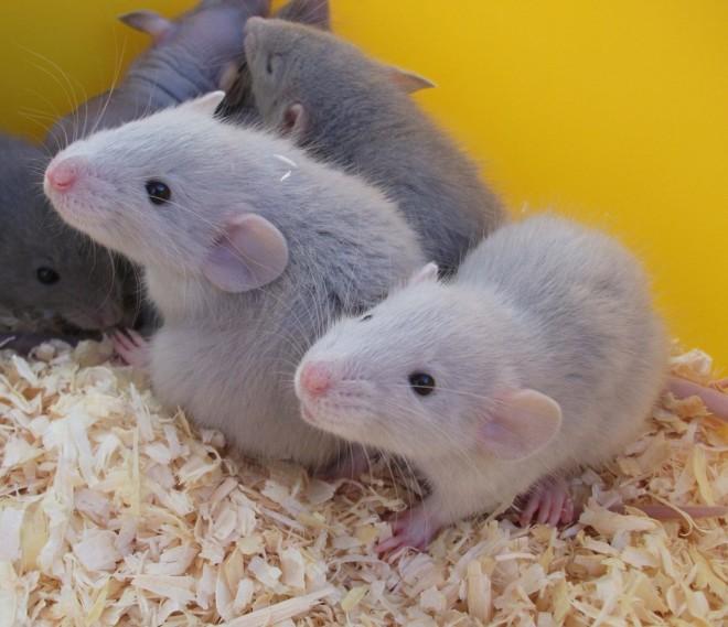 Голубые крысы