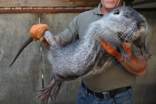 Крупные домашние крысы
