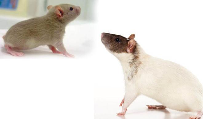 Крыса Бесхвостая