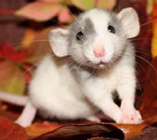 Крыса дамбо на фото