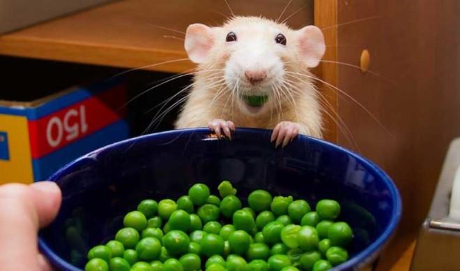 Крыса кушает горох
